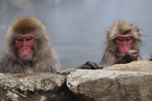 Snow monkeys in Yudanaka